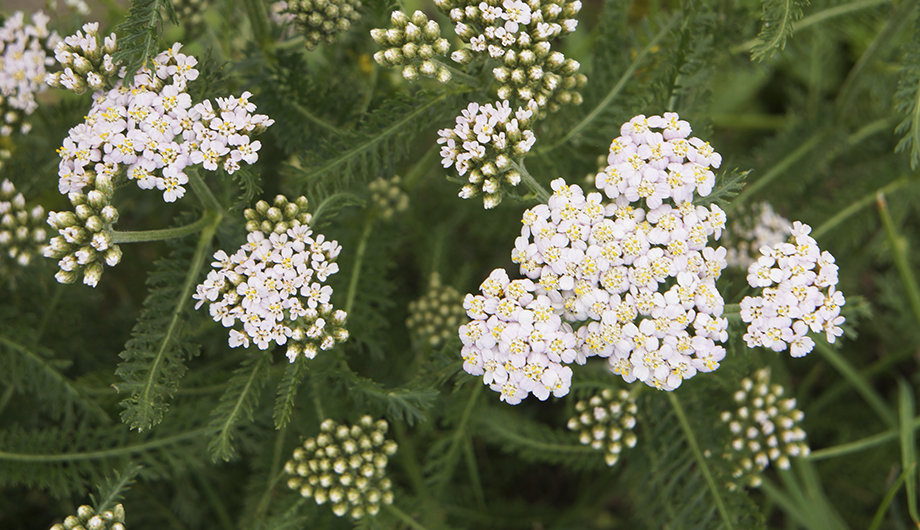 Common-yarrow