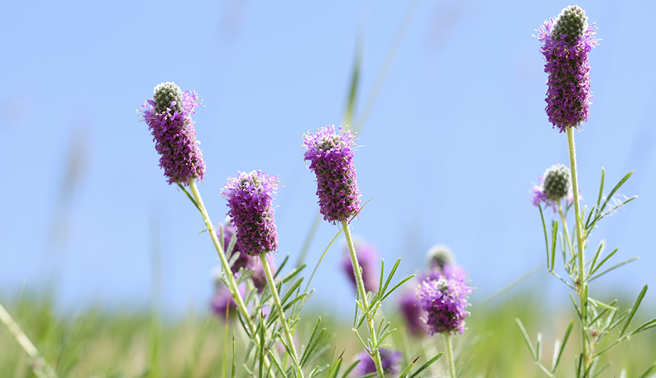 Purple-prairie-clover