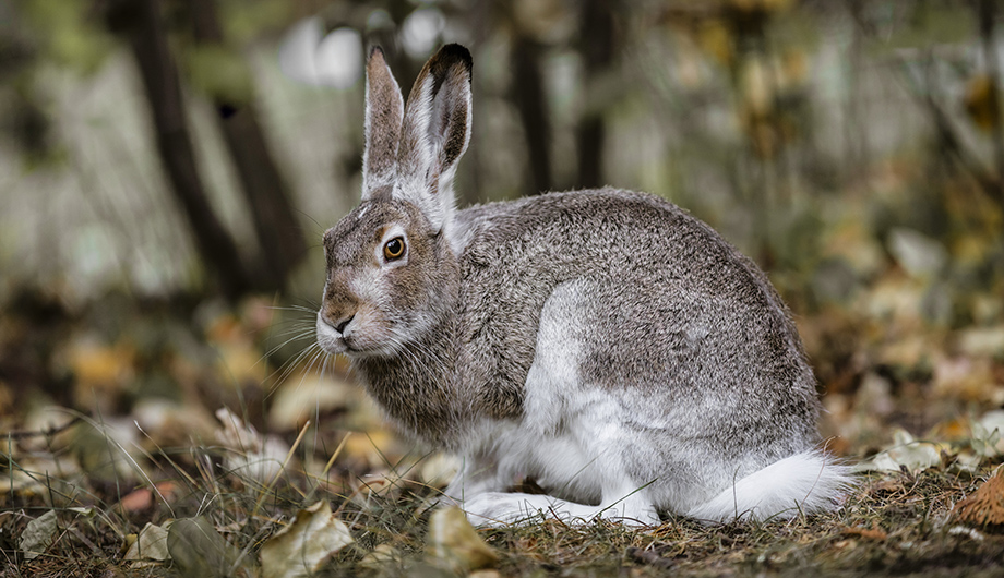 White-tailed-jackrabbit